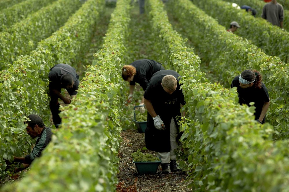 Clos du Mesnil harvests