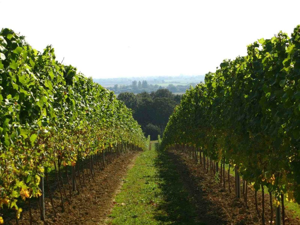 GE Vineyard