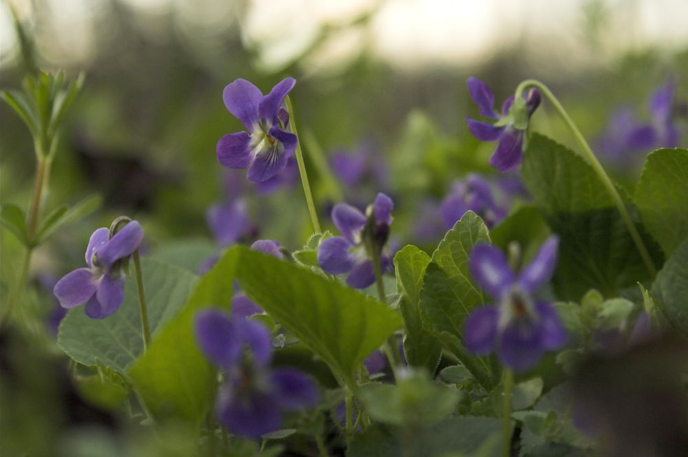 violets not mine